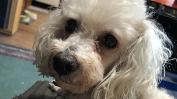 Couple's Beloved Poodle Euthanized After Burglars Break Into Home, Beat Dog
